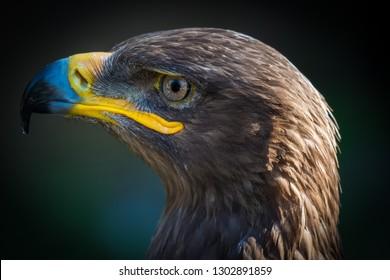 Beautiful close up of bird of prey