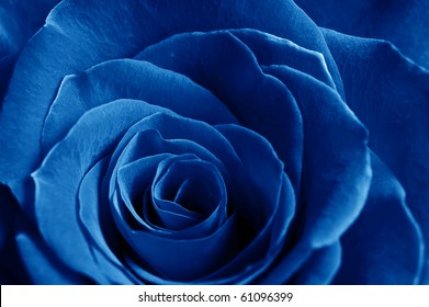 beautiful close up blue rose