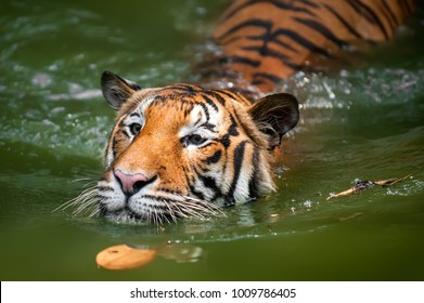 Beautiful Close up Borneo, Malayan Tiger enjoying a swim in a tropical jungle river. Shallow depth of fields, selective focus