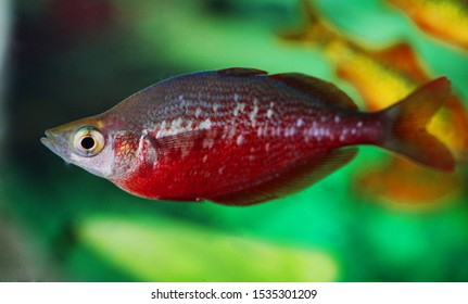 Rainbowfish Hd Stock Images Shutterstock