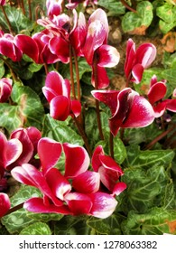 Beautiful Close up of colorful Cyclamen.Cyclamen's blossom season.cyclamen flowers is winter flowers.