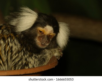 A beautiful close up of a common marmoset
