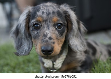 Beautiful Close Up of Dapple Dachshund Puppy