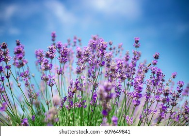 Beautiful close up of a field of lavender flowers with the blue sky