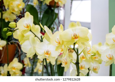 Beautiful close up fresh bouquet phalaenopis Orchids Yellow green petals, Tropical  sweet flowers growing in greenhouse in shining day, Wedding, anniversary,birthday and buisness import produc