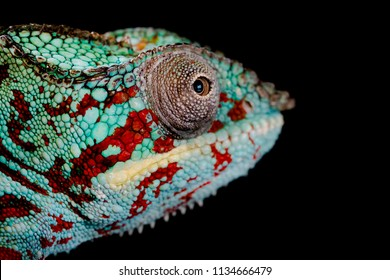 Beautiful Close Up head of Green and red Panther Chameleon, Furcifer Pardalis on a black background moving its eyes with clear skin texture