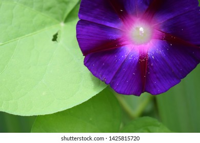 Beautiful close up image of purple clambering plant Calystegia sepium known as hedge bindweed, Rutland beauty,  heavenly trumpets