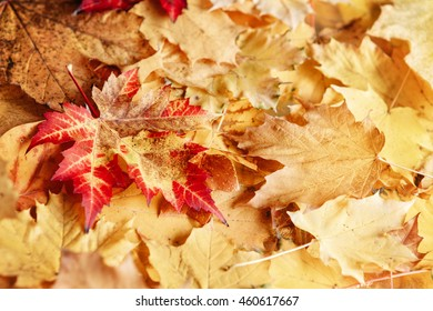 Beautiful close up image shot with colorful yellow red dry autumn fall maple leaves, fall season, view from above, card wallpaper, textured background, copyspace for text