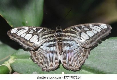 Beautiful up close look at a blue clipper butterfly.