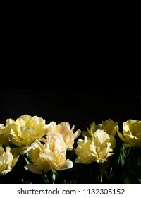 Beautiful close up macro photo of yellow tulips on black background.