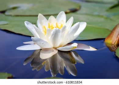 Beautiful close up macro of the white water lily (Nymphaea alba, Nymphaeaceae) aka the European white water lily, white water rose or white nenuphar, in the river Angstel in the Netherlands in summer