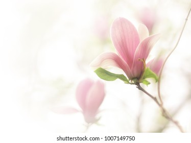 Beautiful close up magnolia flowers. Blooming magnolia tree in the spring on the light and smooth background. Selective focus