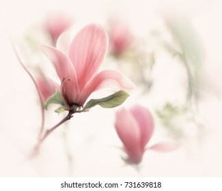 Beautiful close up magnolia flowers. Blooming magnolia tree in the spring. Selective focus. White light spring floral photo background