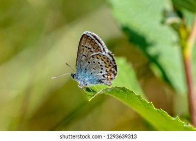 Beautiful close up of a Mazarine blue butterfly or Blue wing, Cyaniris semiargus sitting on a green leaf in bright sunshine