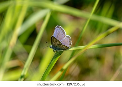 Beautiful close up of a Mazarine blue butterfly or Blue wing, Cyaniris semiargus sitting on a green straw of grass in bright sunshine