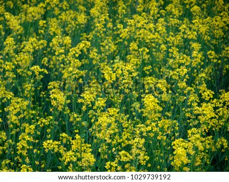 Beautiful Close Mustard Plants Yellow Flowers Stock Photo Edit Now