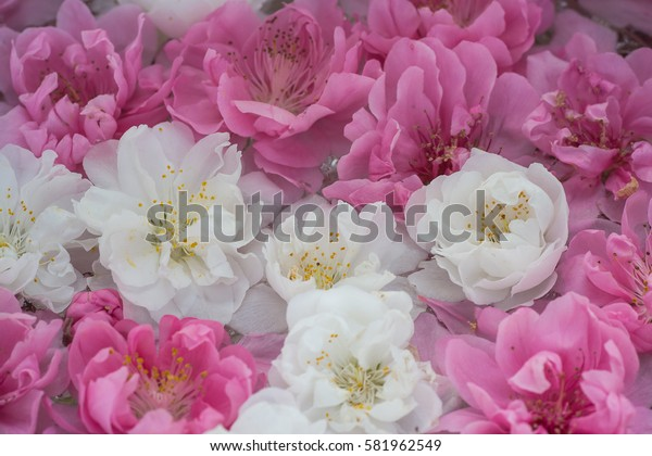 Beautiful close up petals of cherry blossom flowers show white and pink harmony.