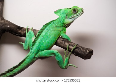 Beautiful close up photo of lizard Plumed basilisk