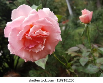 Beautiful close up photograph of a pink rose in full bloom with another smaller blossom in the background.