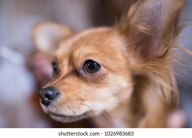 Beautiful close up portrait of an adorable chihuahua dog