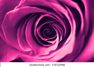 beautiful close up red rose