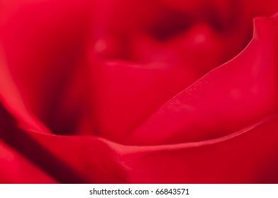Beautiful close up of a Rose