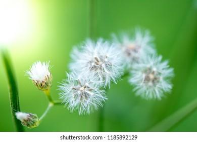 Beautiful close up, full focus dandelion flowers on green background, vintage card, macro