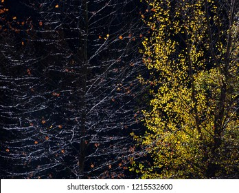Beautiful Close up View of Shining Forest Trees with Colorful Leaves on shining tree branches in Autumn on blackbackground Yedigoller National Park Bolu Turkey