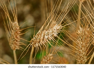 A beautiful close-uo of a durum wheat spikelet in the foreground ,several spikelets in the background out of focus
