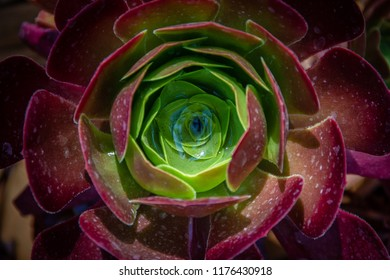 "Beautiful close-up of  an Aeonium of the Zwartkop or ""Jack Catlin"" variety plant illuminated by the sun- Native or Morroco, Madiera and East Africa."