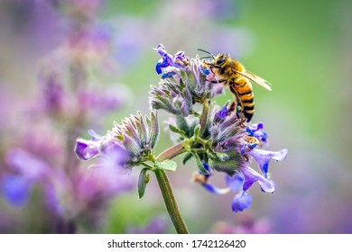 A beautiful closeup of a bee drinking nectar of a catmint