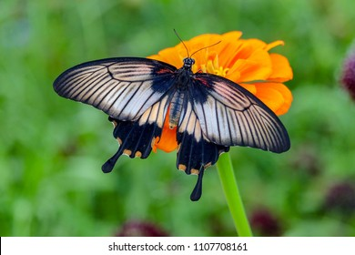 Beautiful closeup of a black and white Kite Swallowtail Butterfly sitting on an orange flower with green background