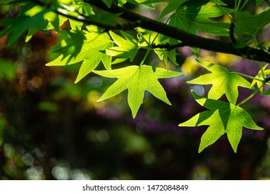 Beautiful close-up of bright green leaves Liquidambar styraciflua, Amber tree, called American sweetgum against sun on dark colorful with purple bokeh. Nature concept for design. Selective focus