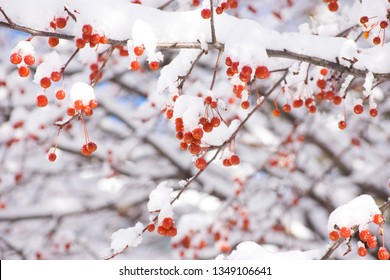 Beautiful closeup of bright red berries on a snow covered bush. Photo taken in Madison, Wisconsin, USA.