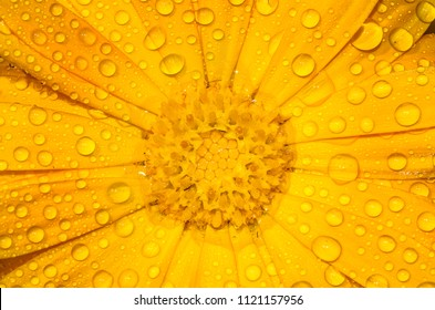 Beautiful closeup of a Calendula flower with dew drops