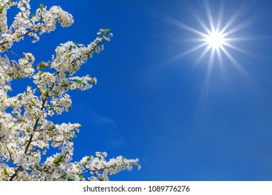 beautiful closeup cherry tree branch in a white blossom on a blue sky background