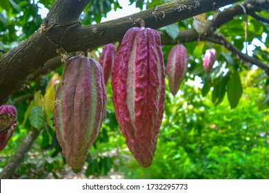 Beautiful closeup of colorful cocoa pods (Trinitario) on cocoa tree branches. Forest in Madagascar.Plantation of big, ripe cocoa fruits hanging on green background.Cocoa beans ready for dark chocolate
