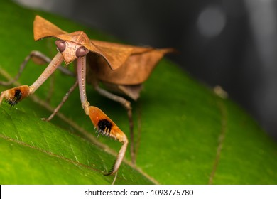 Beautiful close-up of Dead leaf mantis - Deroplatys truncata (selective focus)