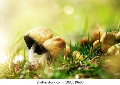 Beautiful closeup of forest mushrooms. Gathering mushrooms. Mushrooms photo, forest photo, forest background