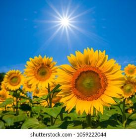 beautiful closeup golden sunflowers under a sparkle sun