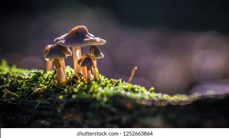 Beautiful closeup of a group of mushrooms growing on tee trunk with green moss and dark bokeh forest background. Mushroom macro, Mushrooms photo, forest photo, forest background