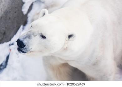 Beautiful close-up image of White Polar Bear