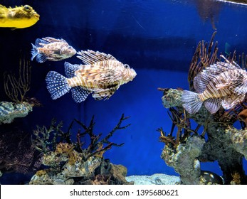A beautiful close-up of Lionfish and Pufferfish in the same exhibit at the Georgia Aquarium