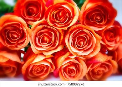 beautiful close-up of orange roses