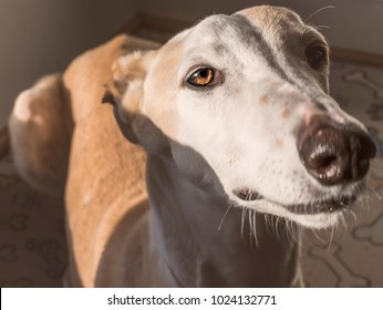 Beautiful closeup portrait of a spanish greyhound with bicolour fur of cinnamon and white.