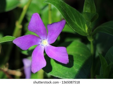 Beautiful closeup of the purple blossom of a blue periwinkle in the sunlight, also known as large, greater or big leaf periwinkle