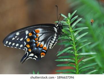 Beautiful closeup shoot of a Black Swallowtail Butterfly