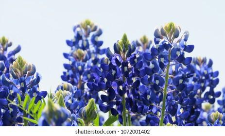Beautiful closeup of Texas Bluebonnets during spring