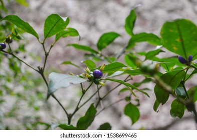 Beautiful closeup of tropical wild berry in Brazilian forrest