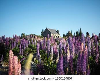 Schöne Nahaufnahme von Violett Blüte Lupine und Kirche auf dem Hintergrund am Tekapo-See, Neuseeland